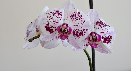 Orchidée de bureau